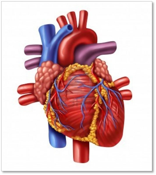 Cardiomyocytes Heart Cells Beat In Vitro Cell Applications