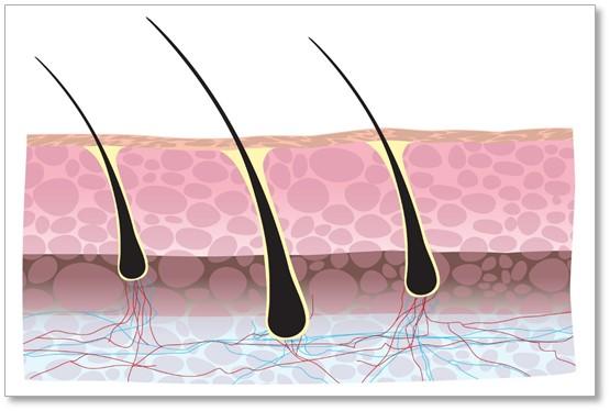 HFDPC | Primary Hair Follicle Dermal Papilla Cells | Human
