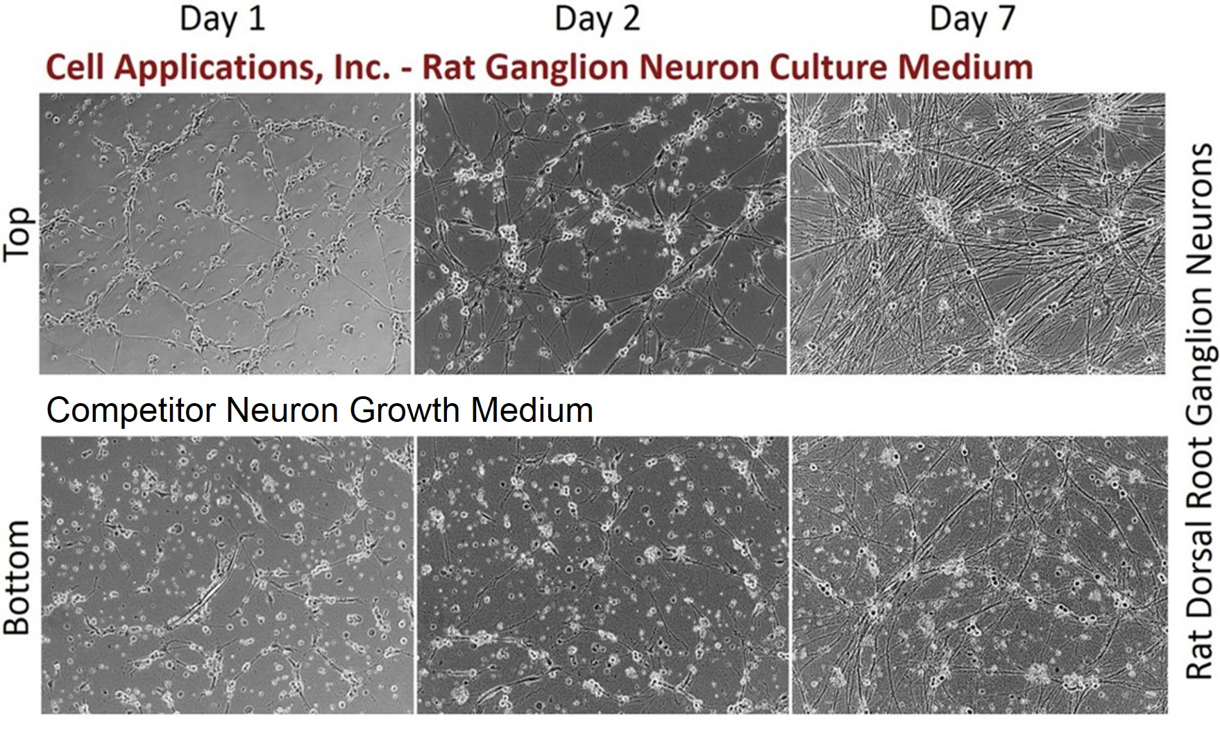 Rdrgn Primary Rat Dorsal Root Ganglion Neurons Cell Applications