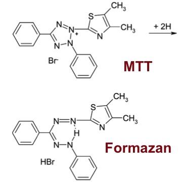 MTT Colorimetric Tetrazolium Assay Kit | Cell Viability ...