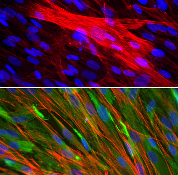 Rbskmc Primary Rabbit Skeletal Muscle Cells Cell Applications